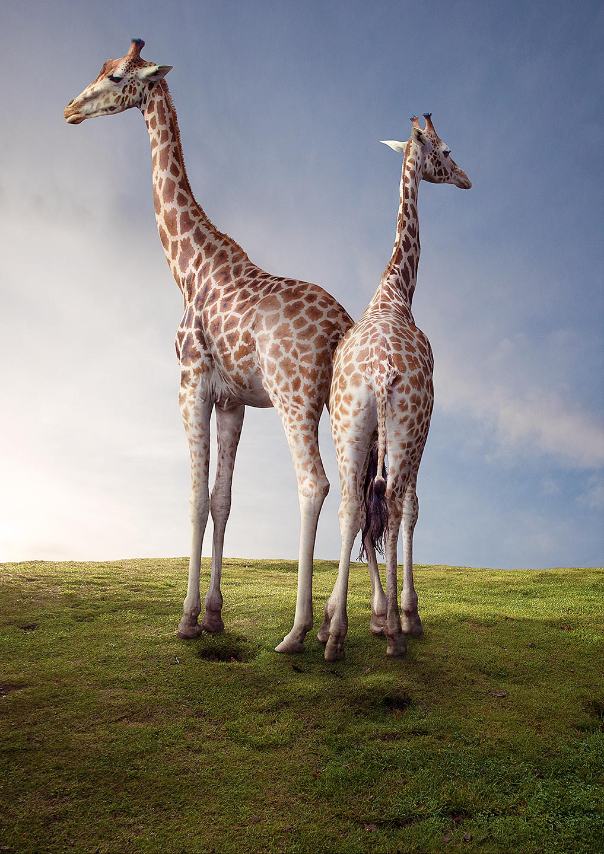 Matt_giraffes