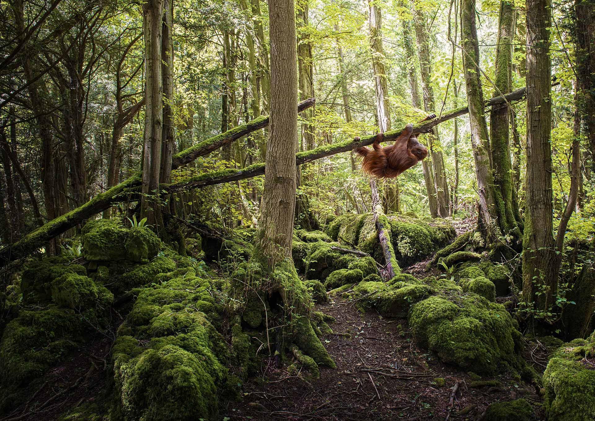 Matt_Orangutan_Climber