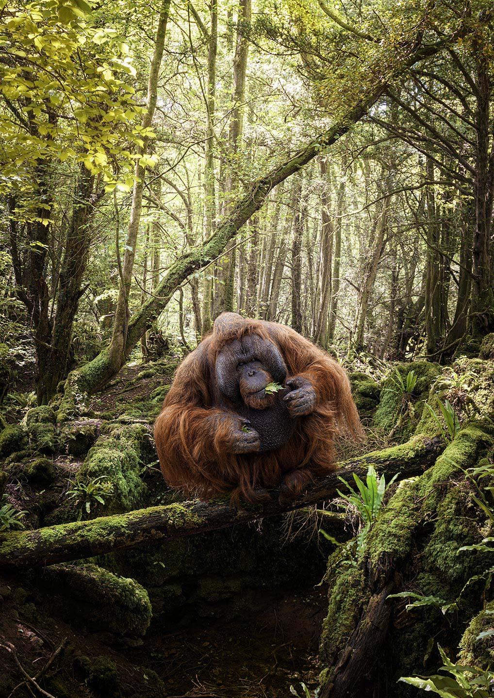 Matt Oranutans Eating Orangutan M W
